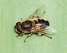 Eristalis similis httpsuploadwikimediaorgwikipediacommonsthu