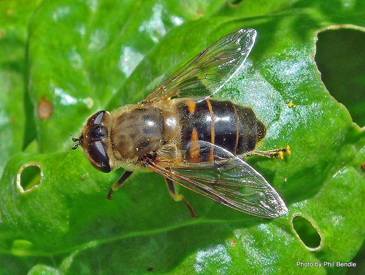 Eristalis tenax TERRAIN Taranaki Educational Resource Research Analysis