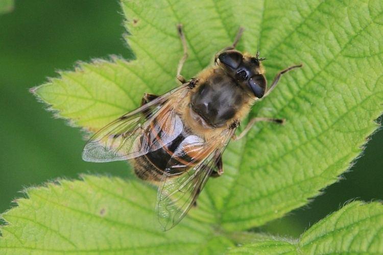 Eristalis tenax Common Drone Fly Eristalis tenax NatureSpot