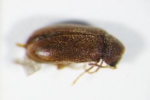 Ernobius BOLD Systems Taxonomy Browser Ernobius genus