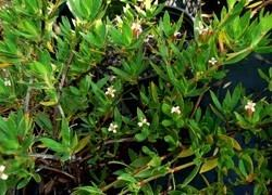 Ernodea littoralis Florida Association of Native Nurseries FANN