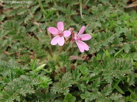 Erodium cicutarium Erodium cicutarium