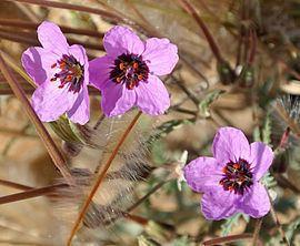 Erodium cicutarium Erodium cicutarium Wikipedia