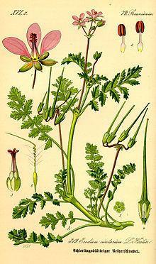 Erodium cicutarium httpsuploadwikimediaorgwikipediacommonsthu