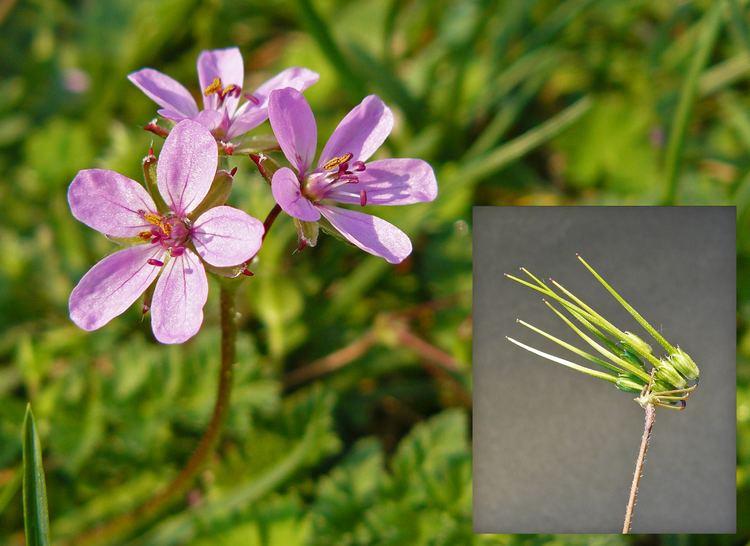 Erodium cicutarium Erodium cicutarium Images Useful Tropical Plants