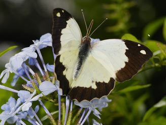 Eronia wwwbiodiversityexplorerorgbutterfliespieridae