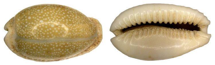 Erosaria erosa FileCypraea erosa Linn 1758 Syn Erosaria erosa Linn 1758