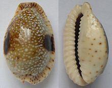 Erosaria nebrites httpsuploadwikimediaorgwikipediacommonsthu