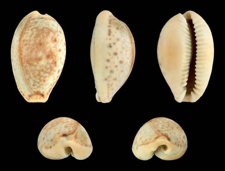 Erosaria spurca FileErosaria spurca spurca 01JPG Wikimedia Commons