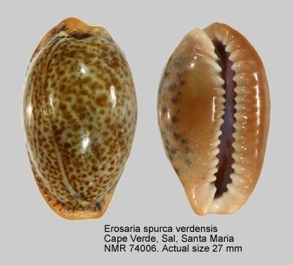 Erosaria spurca WoRMS World Register of Marine Species