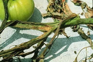 Erwinia Erwinia Hollow Stem and Soft Rot Florida Tomato Scouting Guide
