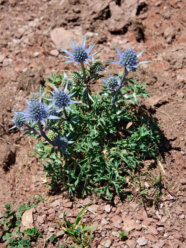 Eryngium bourgatii httpsuploadwikimediaorgwikipediacommons88