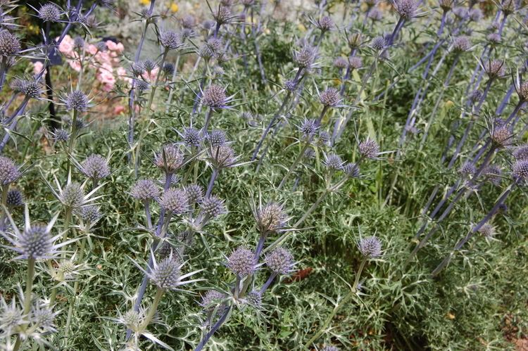 Eryngium bourgatii Eryngium bourgatii landscape architect39s pages