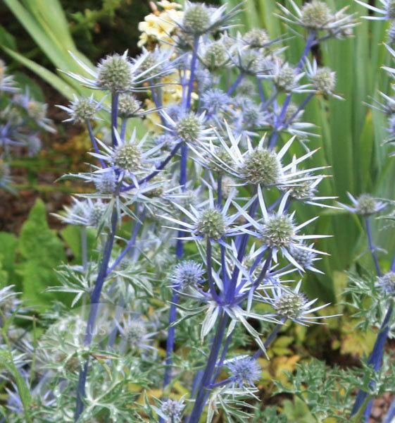 Eryngium bourgatii Buy sea holly Eryngium bourgatii Delivery by Crocus
