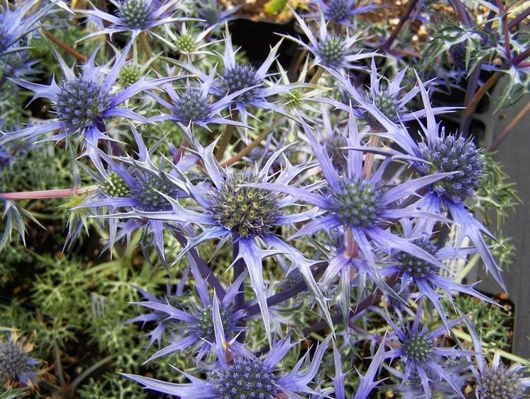 Eryngium bourgatii Buy Eryngium bourgatii Jos Eijking and others by mail order