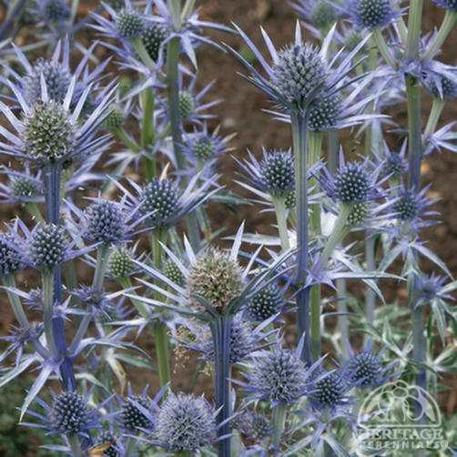 Eryngium bourgatii Plant Profile for Eryngium bourgatii Mediterranean Sea Holly Perennial