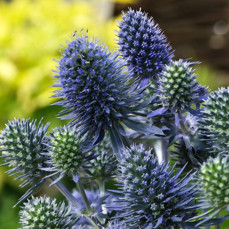 Eryngium Eryngium planum Blue Hobbit Sea Holly Dobbies Garden Centres
