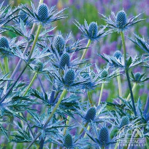 Eryngium Plant Profile for Eryngium zabelii 39Big Blue39 Sea Holly Perennial