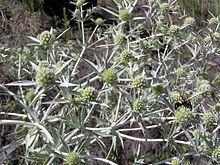 Eryngium campestre httpsuploadwikimediaorgwikipediacommonsthu