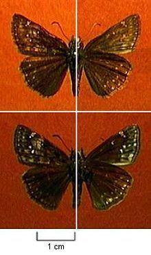 Erynnis afranius httpsuploadwikimediaorgwikipediacommonsthu