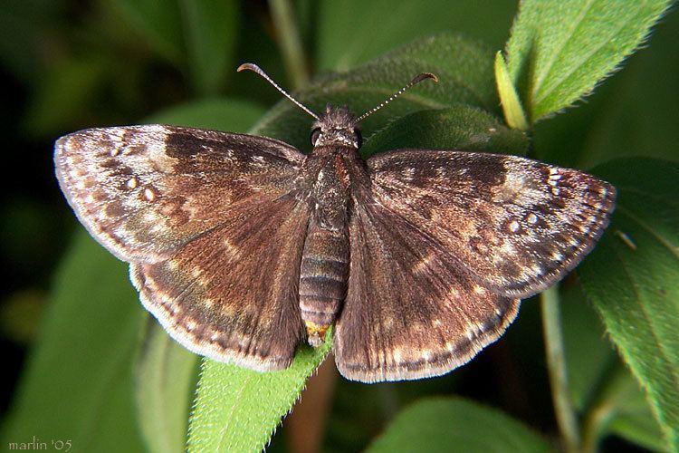 Erynnis baptisiae CalPhotos Erynnis baptisiae Wild Indigo Duskywing Skipper