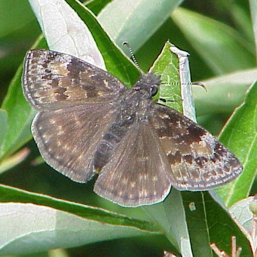 Erynnis baptisiae Wild Indigo Duskywing