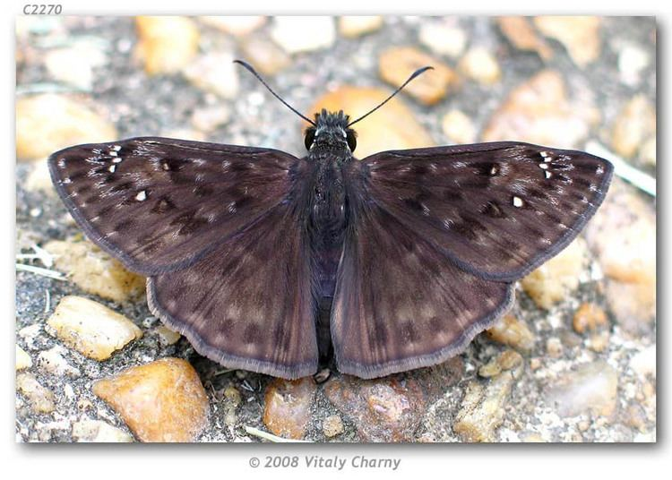 Erynnis horatius Erynnis horatius live adults page 1
