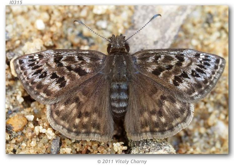 Erynnis martialis Erynnis martialis live adults