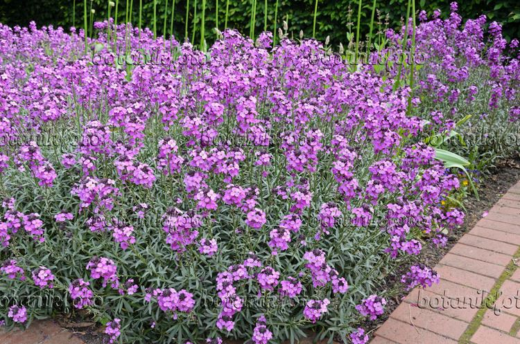Erysimum Images Erysimum Images and videos of plants and gardens botanikfoto