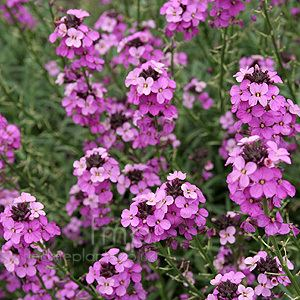 Erysimum 1000 images about Erysimum on Pinterest Twists Deer resistant