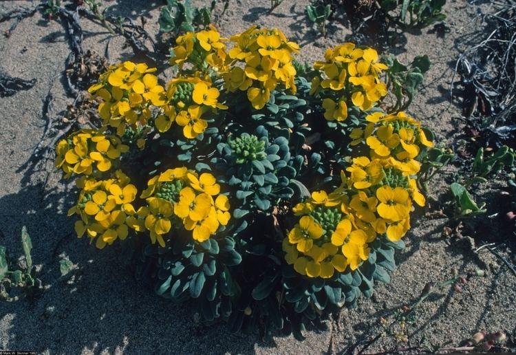 Erysimum menziesii Large image for Erysimum menziesii ssp yadonii Yadon39s wallflower