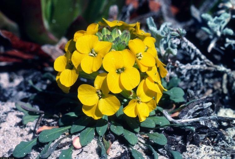 Erysimum menziesii Plants Profile for Erysimum menziesii Menzies39 wallflower