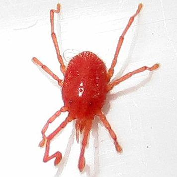 Erythraeidae Erythraeidae Callidosoma BugGuideNet