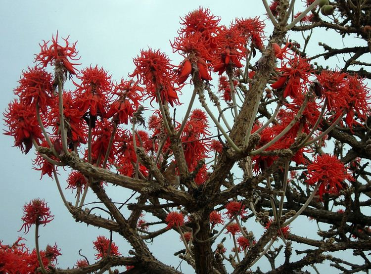 Erythrina abyssinica Central African Plants A Photo Guide Erythrina abyssinica Lam