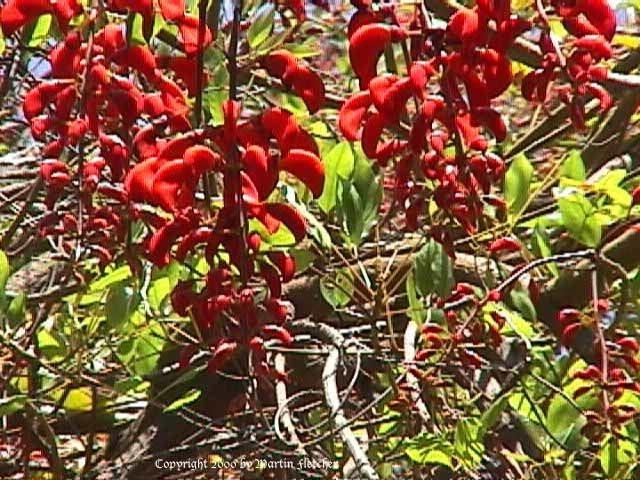Erythrina falcata Erythrina falcata Brazilian Coral Tree California Gardens