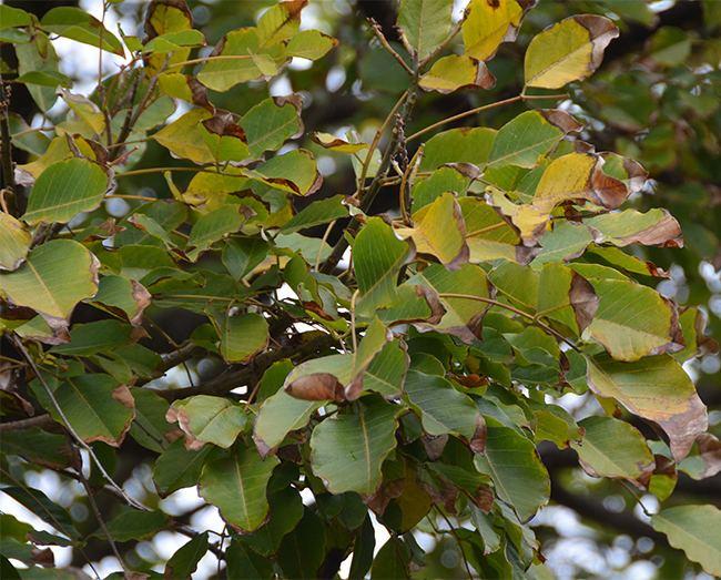Erythrina falcata UFEI SelecTree A Tree Selection Guide