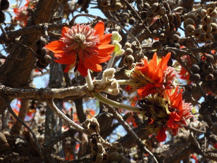 Erythrina latissima FileErythrina latissima blomme en peule d Pretoriajpg