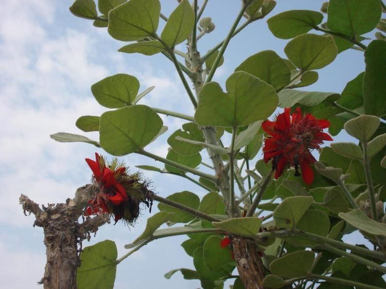 Erythrina latissima Erythrina latissima