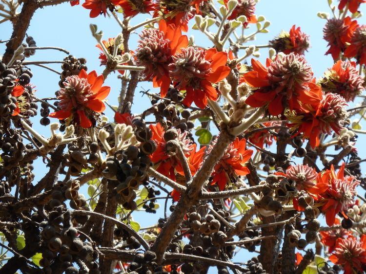 Erythrina latissima FileErythrina latissima blomme en peule c Pretoriajpg