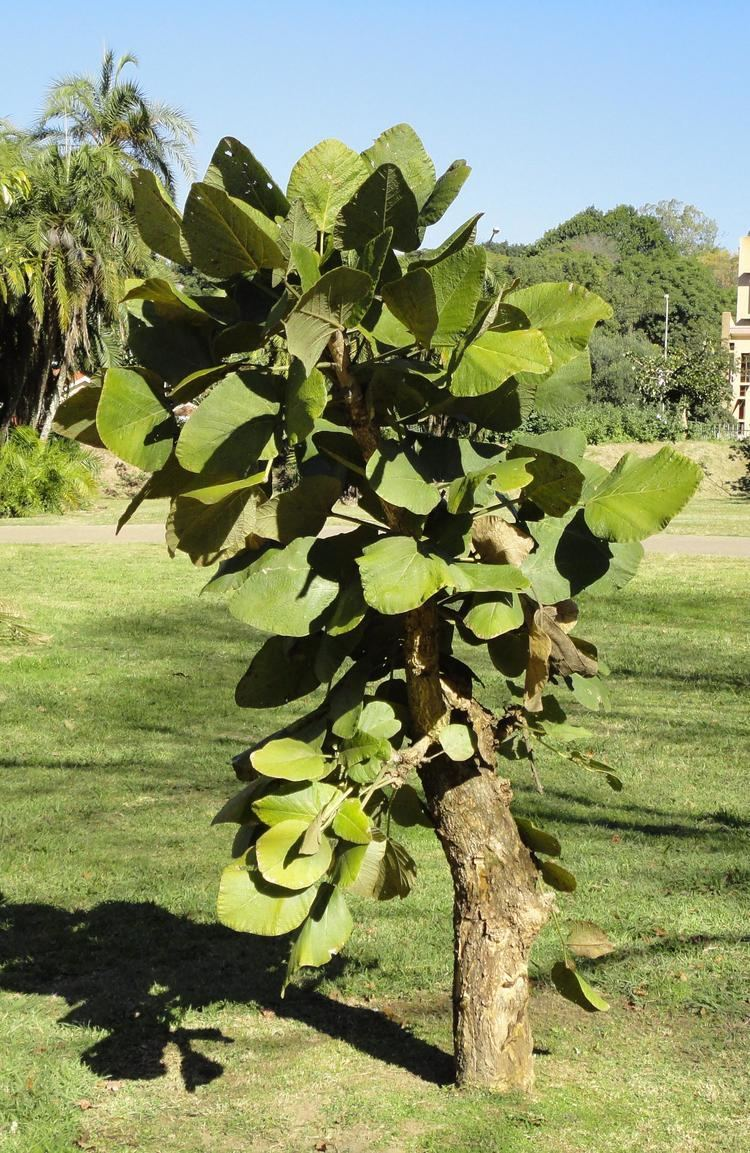 Erythrina latissima FileErythrina latissima KZN NBTjpg Wikimedia Commons