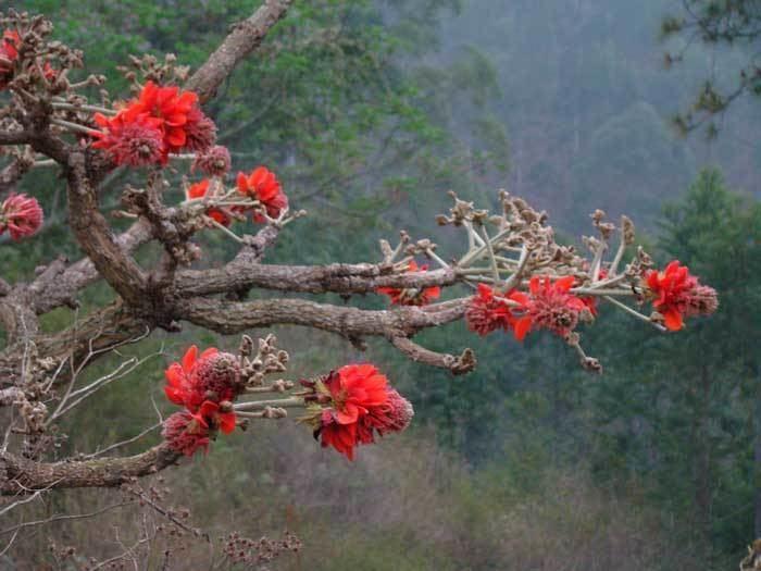 Erythrina latissima wwwecomancozanurserygallerygalleryimageser