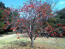 Erythrina lysistemon httpsuploadwikimediaorgwikipediacommonsthu