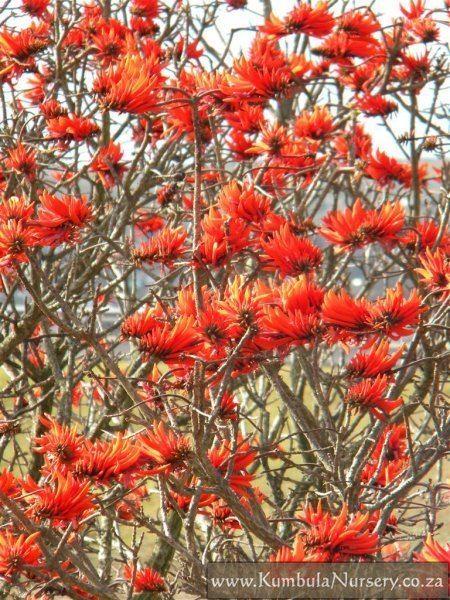 Erythrina lysistemon Erythrina lysistemon Kumbula Indigenous Nursery