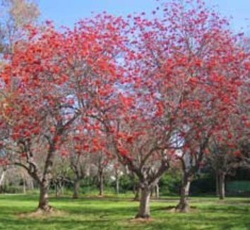 Erythrina lysistemon Erythrina lysistemon Common Coral Tree Lucky Bean Tree plant lust