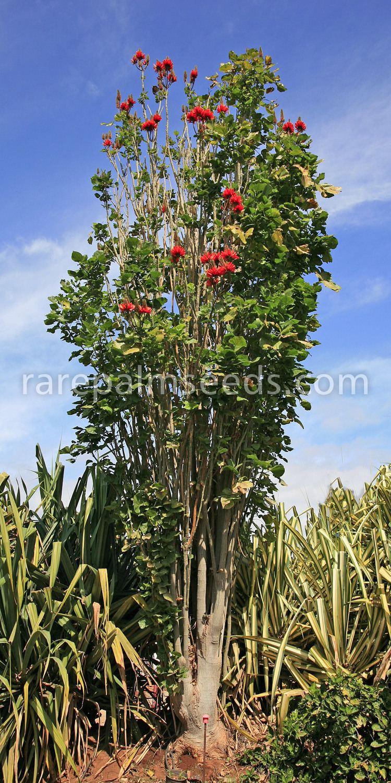 Erythrina orientalis httpswwwrarepalmseedscomimages1000erythrina