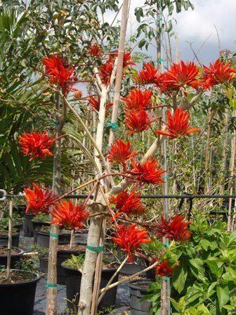 Erythrina orientalis Erythrina variegata var Orientalis Tiger Claw Tree