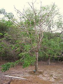 Erythrina sacleuxii httpsuploadwikimediaorgwikipediacommonsthu