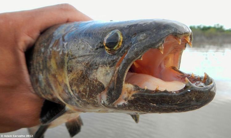 Erythrinidae Characiformes Erythrinidae Trara Hoplias malabaricus Flickr