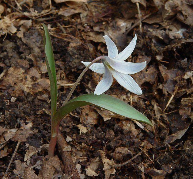 Erythronium albidum Erythronium albidum page