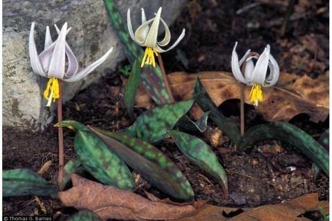 Erythronium albidum Erythronium albidum White Trout Lily Liliaceae Environmental